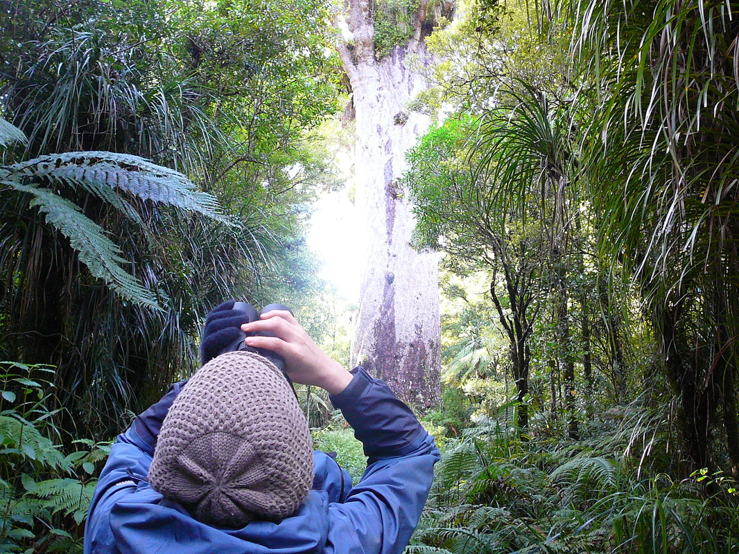 Checking out the epiphytes and vines on Tane Mahuta
